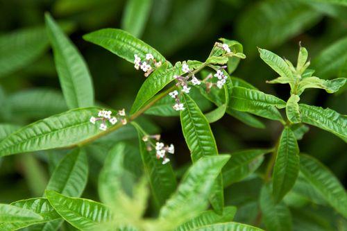 VerbenaBlossoms