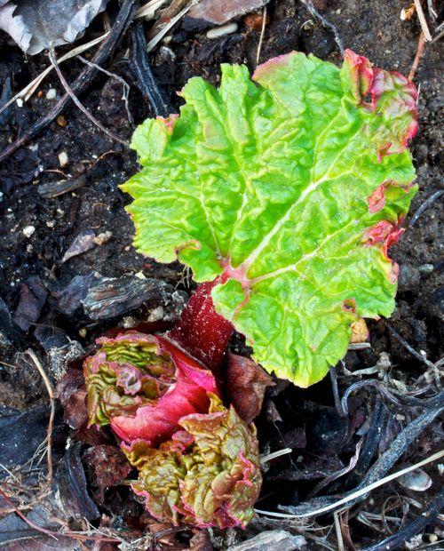 RhubarbGrowth
