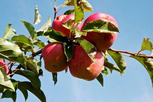 ApplesBranchFall