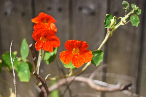 NasturtiumBlossom