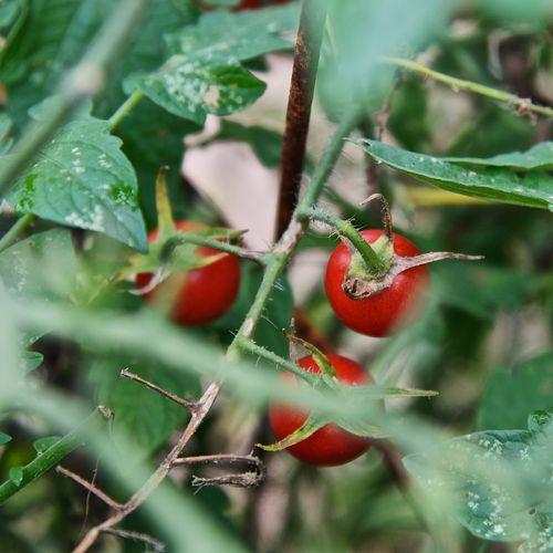 CherryTomatoesVine