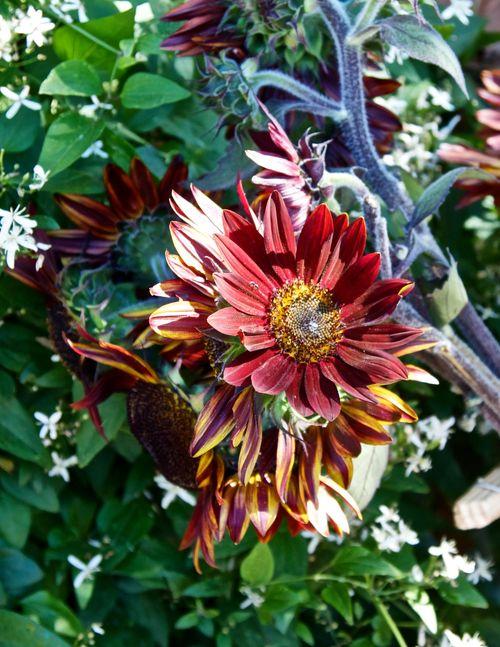 BurgundySunflower
