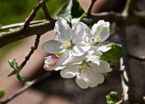AppleBlossom (1)