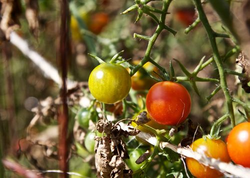 RipeningCherryTomatoes