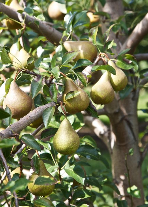 PearBranches