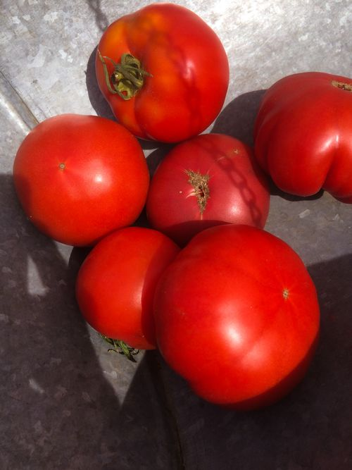 ColorFulTomatoes-June 27, 2015