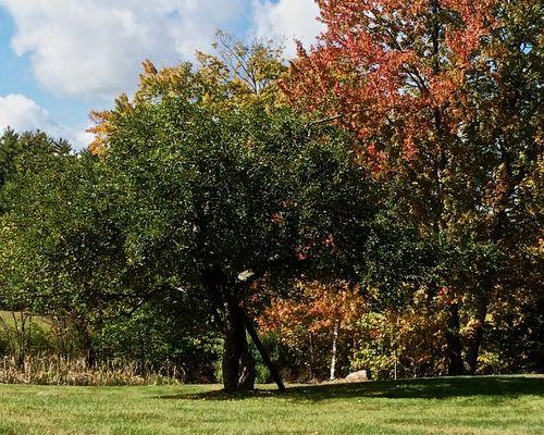 Apple-Tree-Ladder